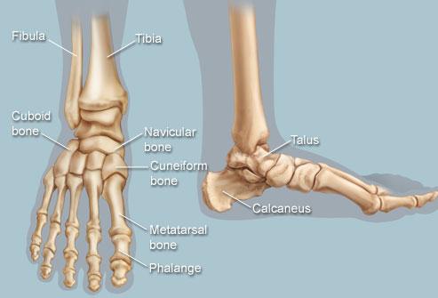 human_foot